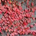 蔦の葉ぱも真っ赤だな♪