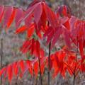 写真: ハゼの紅葉