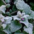 写真: 草花に霜
