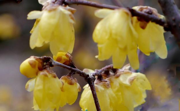 常宮神社の蝋梅