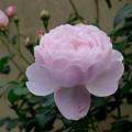写真: 大好きな薔薇