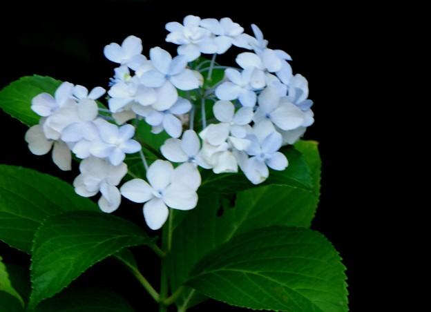 元気な紫陽花