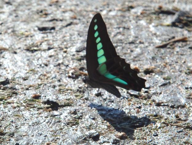 アオスジアゲハ蝶