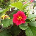 写真: イチゴの花
