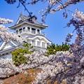 長浜城囲み桜