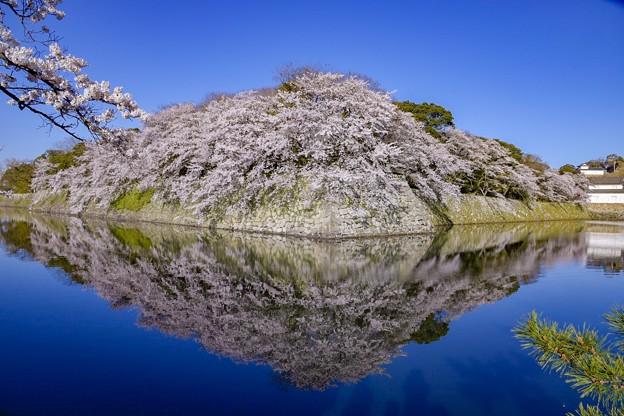 彦根城 鏡桜
