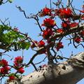 写真: 西表島にデイゴさんが咲いておりましたです^^