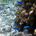 サンゴに群れるルリスズメダイさんです^^