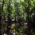 マングローブ林のキラキラなのです^^