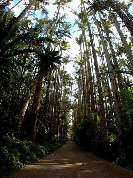 日本最大のユスラヤシさんの並木なのです^^