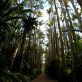 Photos: 日本最大のユスラヤシさんの並木なのです^^