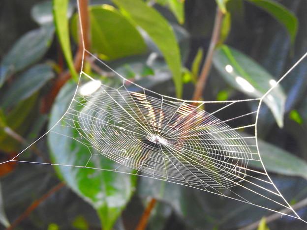 虹色に輝くクモさんの巣なのです^^