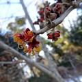 写真: 先ず咲く