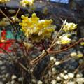Photos: 三椏の花