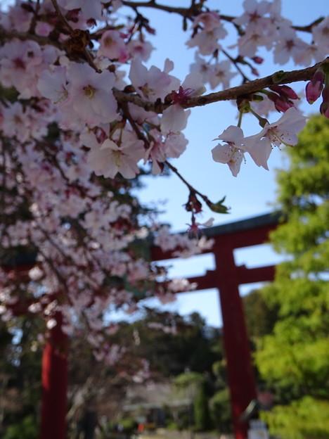 Photos: 四季桜