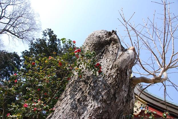 Photos: 古木と椿