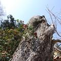 写真: 古木と椿