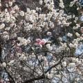 写真: 咲き分け?