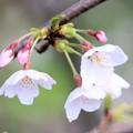 春の川越-1