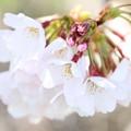 Photos: 春の川越-2