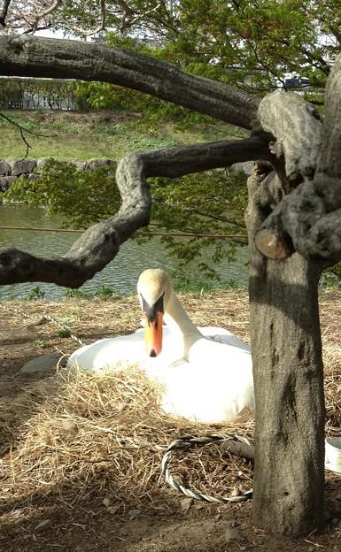 白鳥に睨まれる
