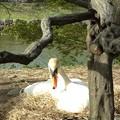 Photos: 白鳥に睨まれる
