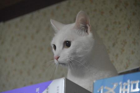2016年4月11日のシロちゃん(雌3歳)
