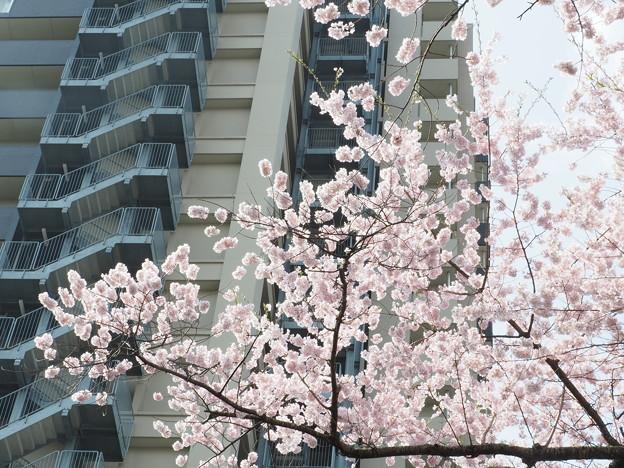 榴ヶ岡 桜