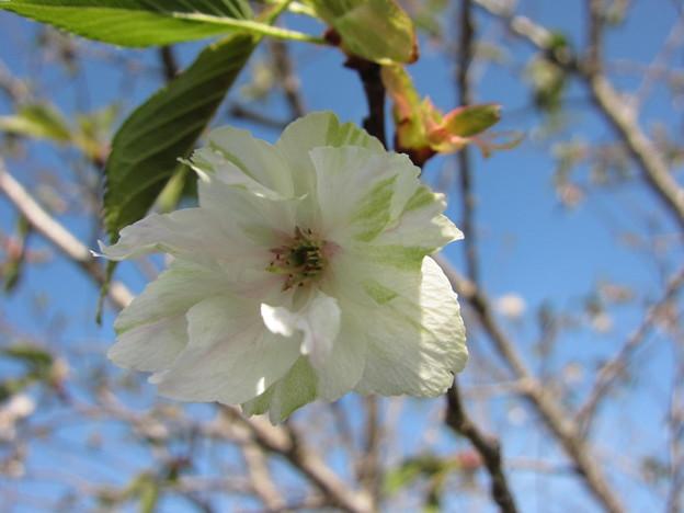 ギョイコウ桜