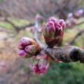 写真: 早咲きのサクラかな・・・