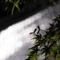 写真: モミジ1