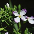 写真: ダイコンの花