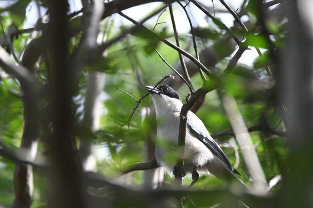 オナガ巣作り