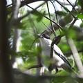 写真: オナガ巣作り