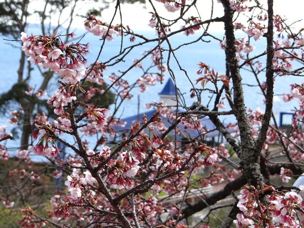 桜越しの海