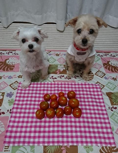 トマトもらった!