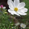 花びらの白い色は