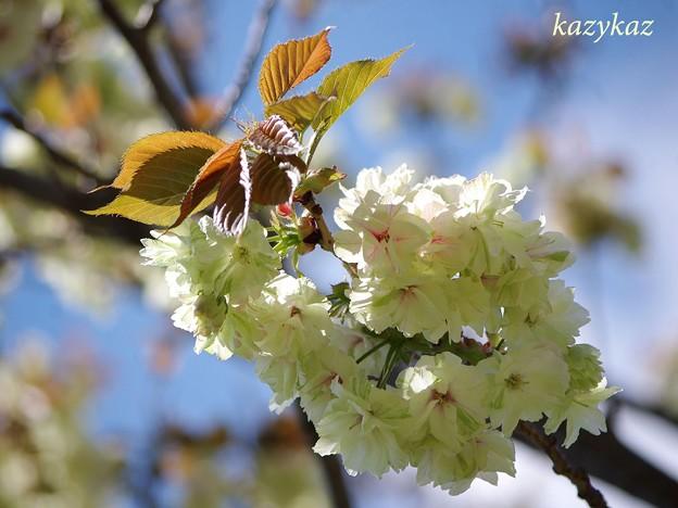 Photos: 鬱金桜<2>