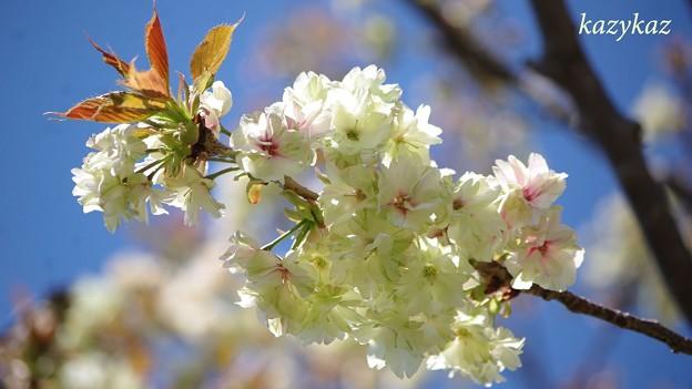 鬱金桜<3>