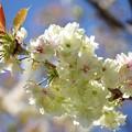 Photos: 鬱金桜<3>