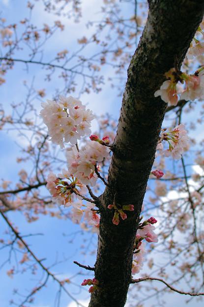 初代AFで撮る桜