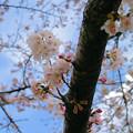 写真: 初代AFで撮る桜
