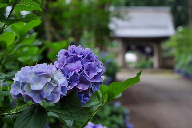 紫陽花の唄