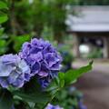 写真: 紫陽花の唄