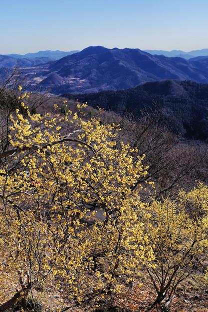 山頂の蝋梅