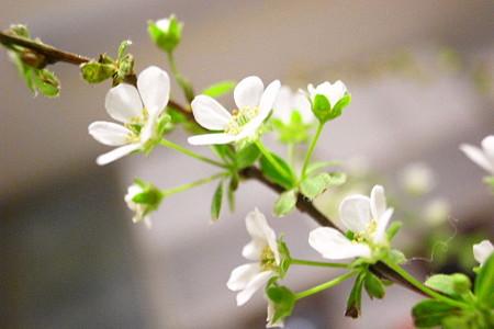 小米の柳花