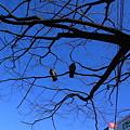 Photos: 番い鳩樹