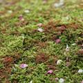 苔の上に落ちた梅の花びら
