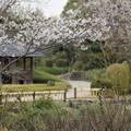 写真: 竹林園の桜