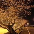 夜桜・・今年の桜は夏の台風で枝が減っているような
